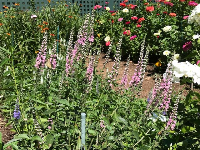 Foxgloves in Cutting Garden