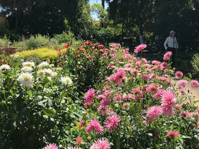 Zinnias in Cutting Garden
