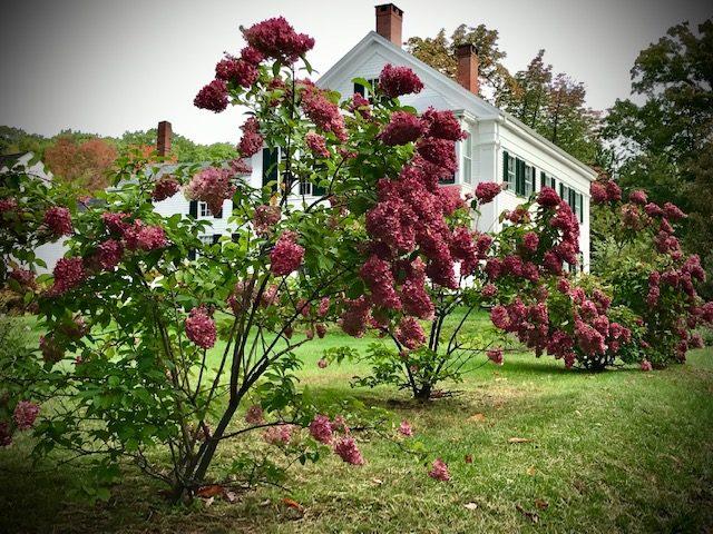 Hydrangea paniculata, Camden, Maine