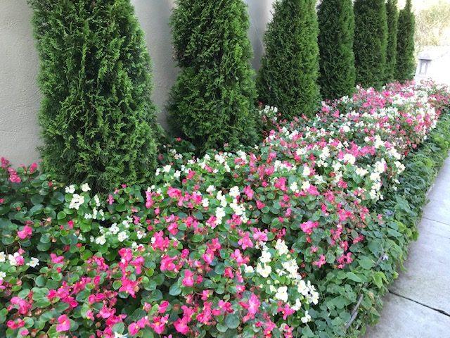 Begonia semperflorens - Wax Begonias