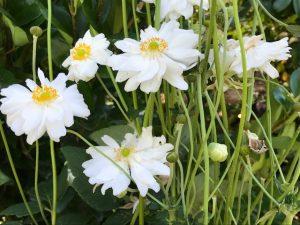 Anemone x hybrida 'Honerine Jobert'