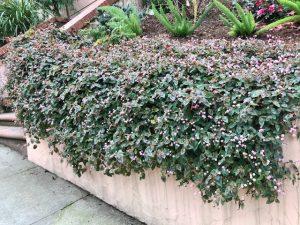 Polygonum Capitatum -Knotweed trailing down retaining wall. San Francisco