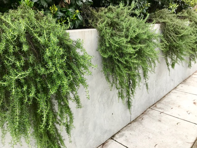 Wall trailing rosemary