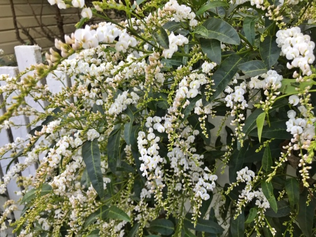 Winter flowering Vine: Hardenbergia 'White Out'