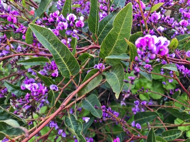 Winter flowering: Hardenbergia violacea . San Francisco, CA