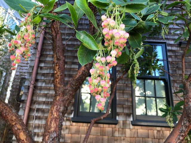 Tree: Arbutus marina. San Francisco, CA