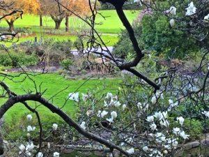 Magnolia denudada, SF Botanical Gardens February