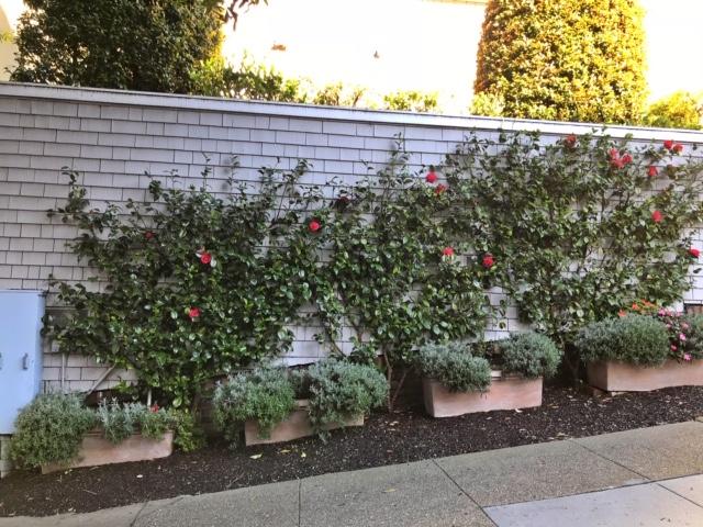 Camellia japonica espalier