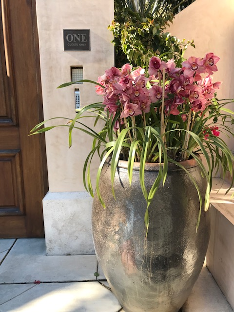 Cymbidium orchid. San Francisco Container plant