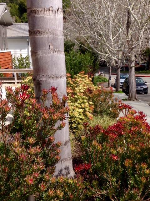 Leucadendrons - Mill Valley, CA