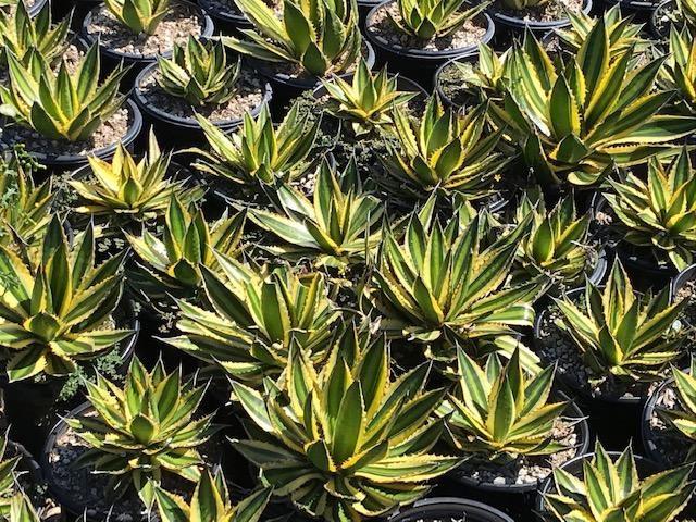 Agave lophantha 'Quadricolor' - Quadricolor Century Plants
