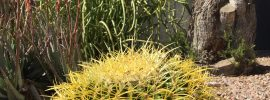 Barrel Cactus Sedona, AZ