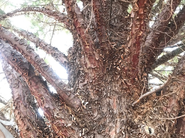 Peeling brown bark of Arizona cypress. Sedona, Arizona
