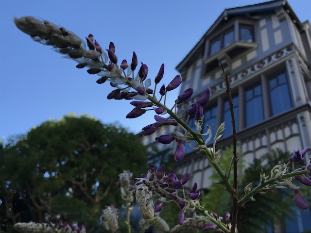 Wisteria 'Amethyst Falls Starting to Flower. San Francisco, CA. March 12, 2020