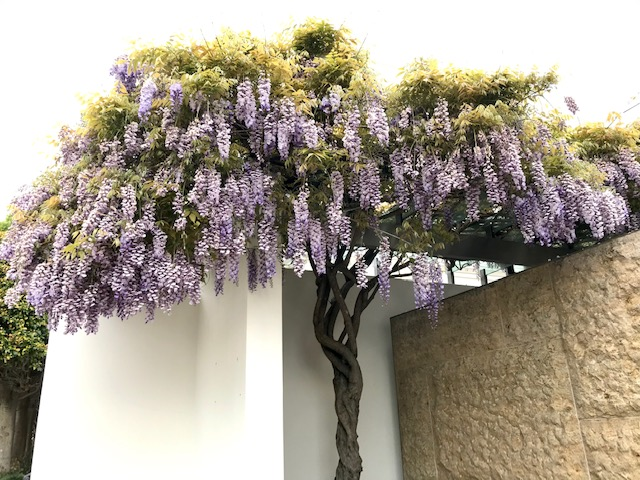 Blooming Wisteria (after) San Francisco, CA. Mid-March 2020