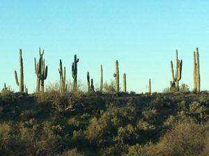 Saguaro Cactus Phoenix AZ