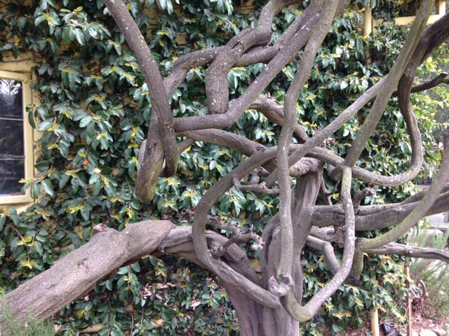 Wisteria's contorted, sculptural woody stems in winter