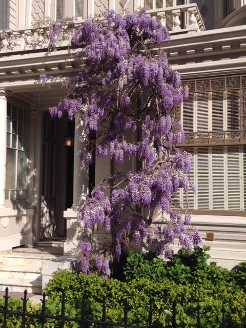 Wisteria Blooming. March 2017. San Francisco, CA.