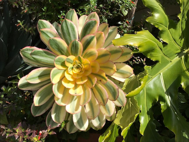 Aeonium 'Sunburst' 'Sunburst'