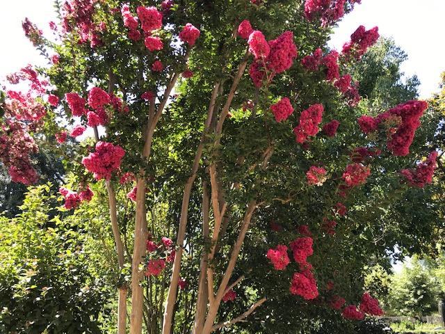 Fuchsia Red Crape Myrtle Palo Alto