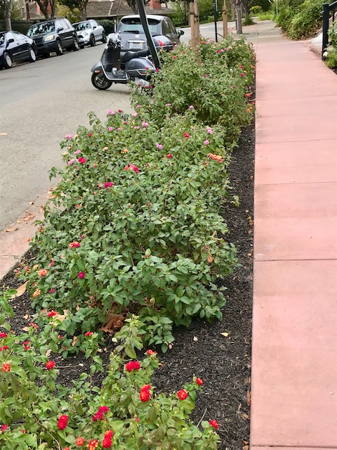 Sidewalk planting with Lantana. Piedmont, CA.