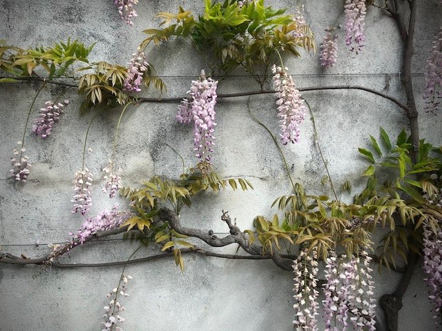 Wisteria wall trained wire support. San Francisco, CA