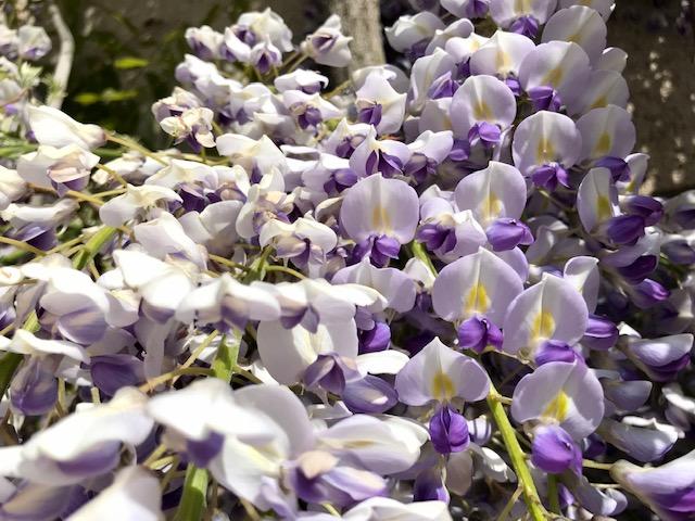 Wisteria in bloom, April.