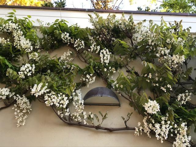 White wisteria wall espalier above garage. San Francisco, CA