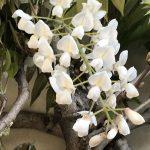 white wisteria flower closeup