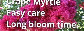 Crape myrtle trees, shrubs and dwarf shrubs
