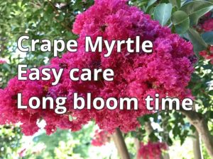 Crape myrtle trees, shrubs and dwarf shrubs