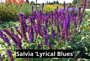Salvia 'Lyrical Blues'