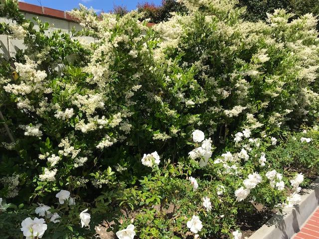 Fragrant Privet flowering