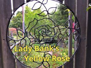 Lady Bank's yellow Rose