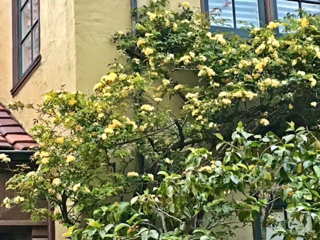 Yellow Lady Banks Climbing Rose trained on stucco home. Berkeley, CA