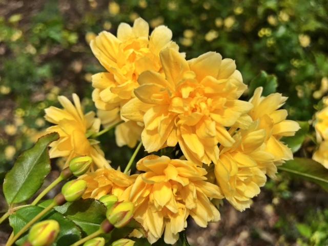 Lady Banks climbing rose - Rosa bansksiae 'Lutea' - Close up