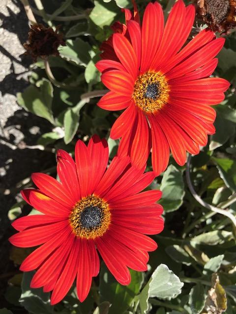 Osteospermum 'Bright Lights Red'