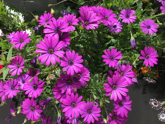 OSTEOSPERMUM ecklonis 'Ostica Purple'