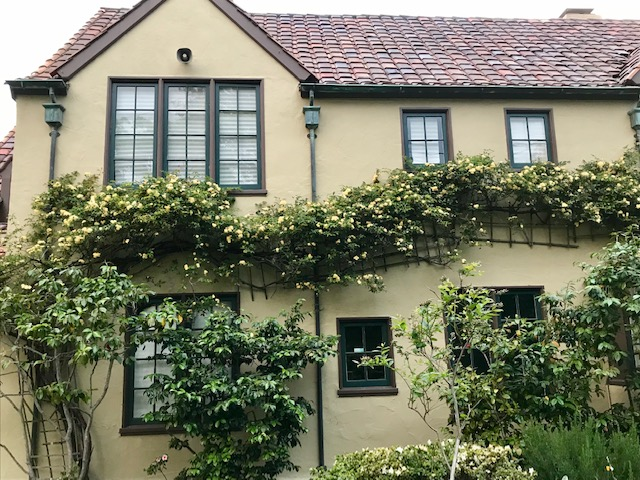Rosa Banksiae 'Lutea' trained on Berkeley, CA home