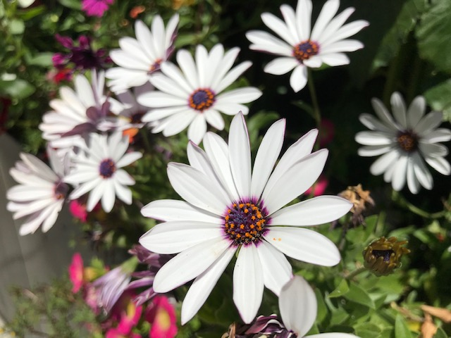 Osteospermum ecklonis White