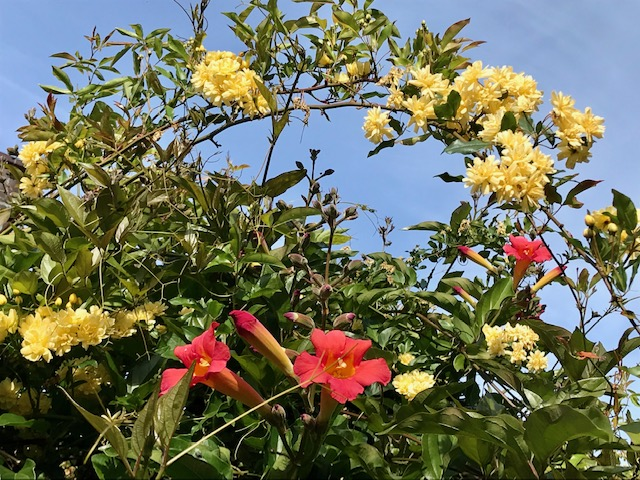 Yellow Banksia Rose and Trumpet vine